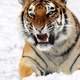 Tiger amur tiger aggression teeth snow hunting 25897 256x256